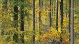 'To beuk or not to beuk' in het Zoniënwoud met het oog op de klimaatopwarming? - nieuw venster Foto : Frédéric Demeuse